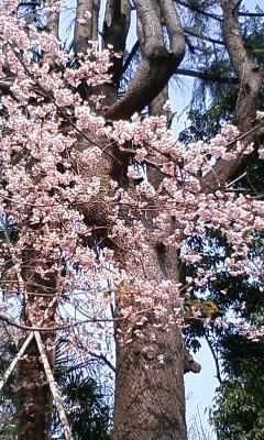 彼岸桜(*^_^*)