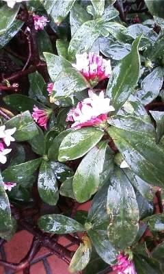 沈丁花が咲きましたo(^-^)o