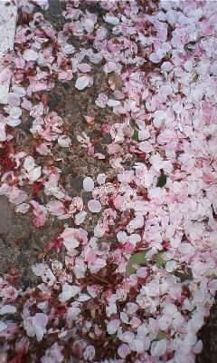 桜の絨毯!!
